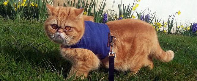 walking cat on harness