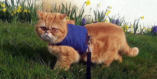 walking cat on harness