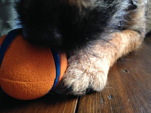 terrier plays with ball