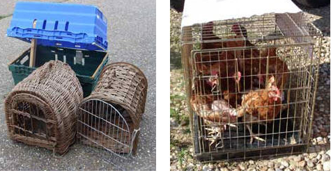 hens as pets, carriers