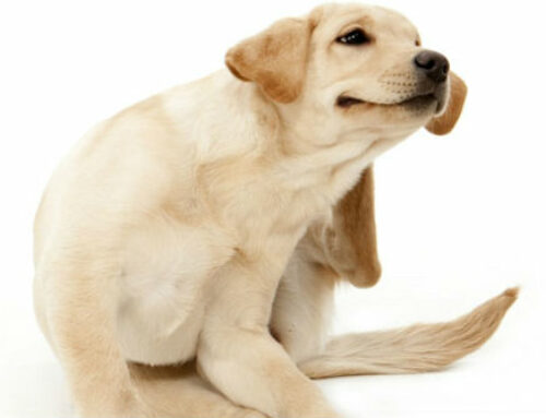 Holistic Solutions for your Itchy Dog