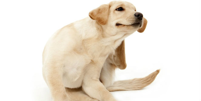 Dog Itching Ears And Biting Paws