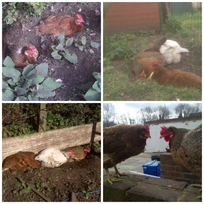 hen keeping milton keynes