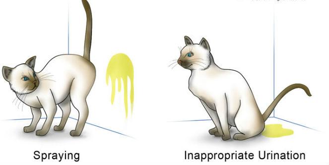 spraying_vs_urinating_cat_behavior
